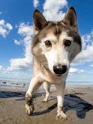 Husky an Strand guckt in Kamera.; Rechte: dpa