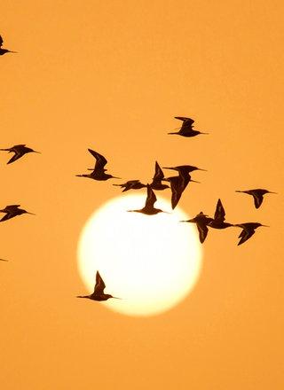 Zugvögel fliegen vor Sonnenuntergang.; Rechte: picture alliance / Nature in Stock