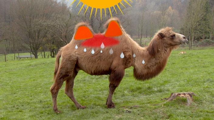 Kamele Höcker